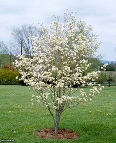 'Cherokee Princess'- Cornus florida 'Cherokee Princess' is hardy in zones 5a-8a, and its white blooms will be in full flower from early to late spring. This native to North America attracts butterflies and can grow up to 25 feet tall.
