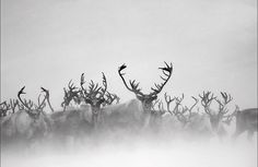 Reindeer photographed by Vincent Munier