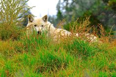 Critter - Grey Wolf - A collection of animals large and small from Alberta and BC, wildlife and Zoo life. Wildlife, Bear, Grey, Animals, Collection, Gray, Animales, Animaux, Animal