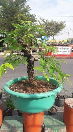 Indoor Bonsai Tree, Bonsai Plants, Bonsai Trees, Garden Plants, House Plants, Desert Rose Plant, Tamarindo, Orchids, Flora