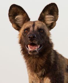 Portrait of a highly gifted hunter:  African Wild Dog  Kwando, Botswana