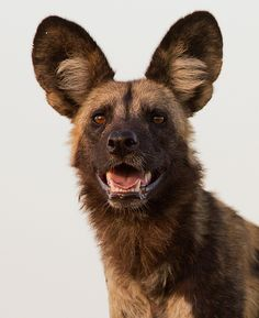 Portrait of a highly gifted hunter:  African Wild Dog  Kwando, Botswana