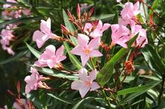 A leander (Nerium oleander) gondozása, metszése, teleltetése - CityGreen. Oleander Plants, Privacy Landscaping, Poisonous Plants, Nerium, Trees To Plant, Garden Plants, Shrubs, Backyard, Landscape