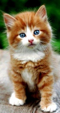 Best Grooming Tools & Tips for Your Kitty Cute Cats And Kittens, Kittens Cutest, Funny Cat Videos, Funny Cats, Animals And Pets, Cute Animals, Long Haired Cats, Cat Shedding, Cat Grooming