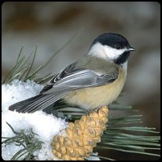 My favorite Michigan bird--the little Chickadee! Love to hear him singing his name!