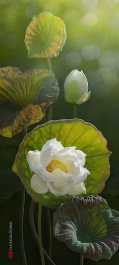 Beautiful lotus flower in white color! A stunning shot!