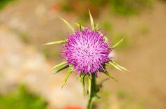 4 piante medicinali che aiutano a disintossicare il fegato