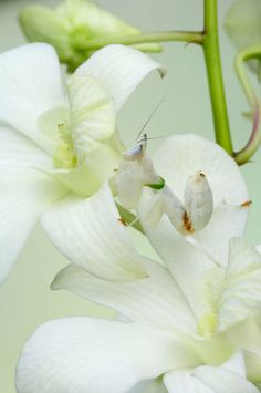 An Orchid Mantis sits on a flower  Picture: Beautiful! Click through to see the entire gallery! by ARDEA / CATERS NEWS / Bill Coster, telegraph.co.uk
