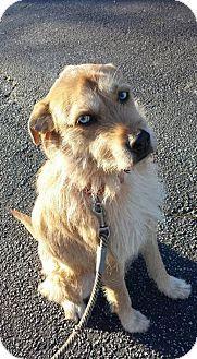 Dachshund/Irish Wolfhound Mix Dog for adoption in Decatur, Georgia - Corbit [Foster Me?] *Head of the Class*