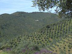 Olivar de Sierra Los Pedroches #aceiteolivaecologico