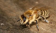 Honingbijen - Werkster van de ondersoort Apis mellifera carnica