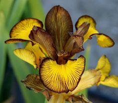 World of Irises: SPURIA IRISES WITH BRAD KASPEREK-- MY VISIT TO ZEBRA IRIS GARDENS PART II