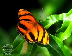 Wildlife Photography Number 2 – Banded Orange Butterfly