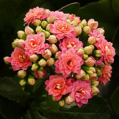 Kalanchoe - With double flowers - Flickr - Photo Sharing!