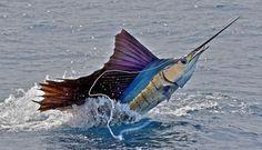 Swordfish!!