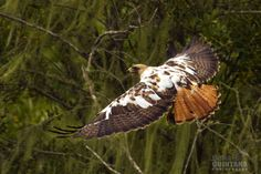 Image result for leucistic red tailed hawk
