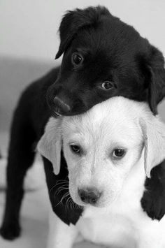 a black puppy and white puppy playing