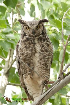 Great Horned Owl, Adult Owl Photography, Raptor Photographs, Bird Photography, Owl Images, Owl Fine Art Prints, Owl Photography, Owl Photos.