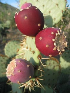 Red Prickly Pear Fruit