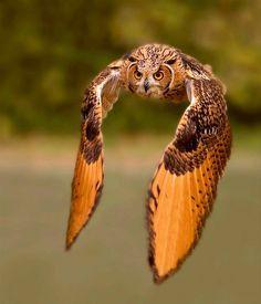 Schitterend shot van vliegende uil