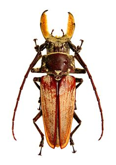 Callipogon senex (Dupont, 1832) F Cerambycidae