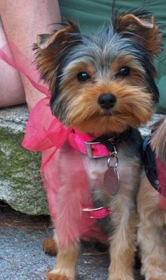 yorkie summer haircuts lilly yorkie dogs puppys so and hair 4554
