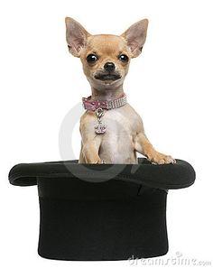 Cute Chihuahua.