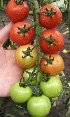 jak pěstovat rajčata Vegetables, F1, Decor, Decoration, Vegetable Recipes, Decorating, Veggies, Deco
