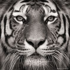 black and white tiger photography Tiger Photography, Wildlife Photography, Inspiring Photography, Photography Portraits, Beautiful Creatures, Animals Beautiful, Cute Animals, Wild Animals, Baby Animals