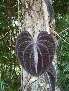 FLORA DE MISIONES Argentina: Dioscorea dodecaneura Vell.