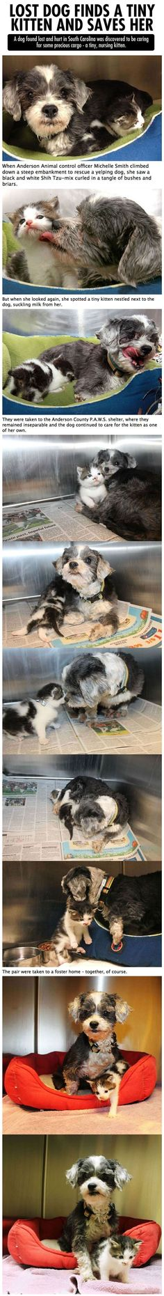A dog found lost was discovered to be caring for a tiny, nursing kitten. #dogs #story