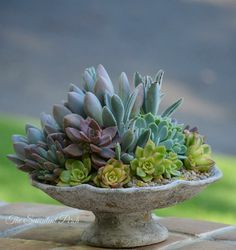 ♥ Echeveria 'Opalina' has beautiful bluish-lavender colored leaves