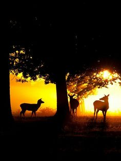 A few deer watching the sunset :) Deer Pictures, Animal Pictures, Deer Photography, Sun Worship, Cottage In The Woods, Silhouette, Woodland Creatures, Life Is Beautiful, Nature