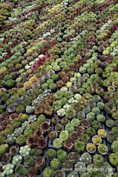 Sunray Plants are a specialist nursery selling Sempervivums and Restios. Container Plants, Container Gardening, Gardening Tips, Buy Plants, Garden Show, Drought Tolerant Plants, Flower Show, Months In A Year, Winter Garden