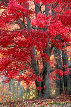 Autumn is approaching fast! Beautiful warmth from a beautiful tree xxx Foto Nature, Image Nature, Beautiful World, Beautiful Places, Beautiful Pictures, Beautiful Images Of Nature, Fall Pictures, Nature Pictures, Autumn Scenes