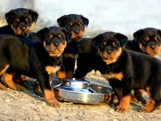 Thinking about adopting a Rottweiler puppy? Is Rottweiler a good option? Before having a new puppy, you have Rottweiler Puppies For Sale, Rottweiler Dog, Cute Puppies, Cute Dogs, Dogs And Puppies, Doberman Puppies, Doggies, Chihuahua Dogs, Dog Training