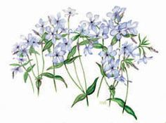 Neat certificate for Botanical Art and Illustration. Phlox watercolor by Dot Wilbur-Brooks