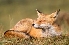Fox :) by Sebastian Jakob