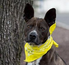 St. Louis, MO - Pit Bull Terrier. Meet Mr. Bruno a Dog for Adoption.