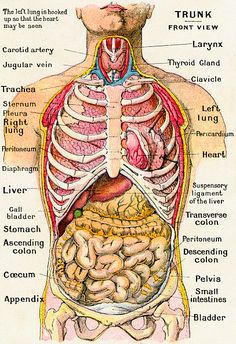 diagram of human body organs | Picture Of Body Organs | Medical ...
