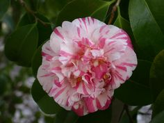 Camellia japonica 'Baronne de Bleichroeder' (Belgium, 1878)
