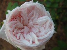 """old rose""""Souvenir de la Malmaison""""/スヴニール・ド・ラ・マルメゾン/マルメゾンの思い出の意"""