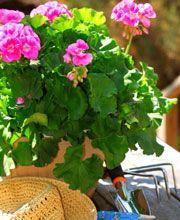 Comment bouturer les plants de géranium?