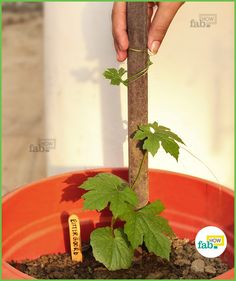 How to Grow Organic Bitter Gourd in a Pot - Step By Step Along With Pictures.