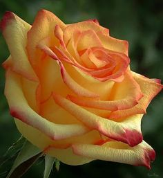 Beautiful Rose Flowers, Pretty Roses, Exotic Flowers, Rose Flower Wallpaper, Rare Roses, Most Popular Flowers, Cactus Y Suculentas, Types Of Flowers, Yellow Roses