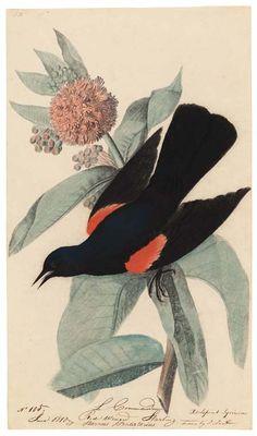 Red-wnged blackbird, Sturnus predatorius, on a milkweed (Asclepias syriaca), by John James Audubon, 1810. Pastel, graphite, and ink on paper, 38 x 22 cm | Harvard University Press: Early Audubon Drawings