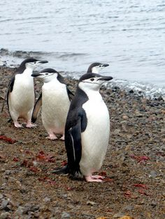 #chinstrap #penguins were the most curious of them all. http://bubbleswap.com/penguins/