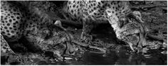 Nature in black and white by Charl Senekal Siblings, Cheetah, Giraffe, Interior Decorating, Black And White, Nature, Prints, Photos, Photography