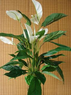 anthurium plant care pictures of anthurium andraeanum plants pinterest plant care. Black Bedroom Furniture Sets. Home Design Ideas