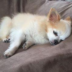 Good night✨💤😴. Have a nice weekend💖🍀🐾🐶✌️️. #愛犬 #ロングコートチワワ #chihuahualove #dog #chihuahua #わんこ #pet #ちわわ